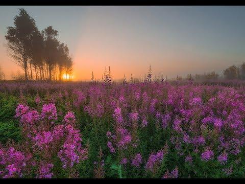 Какого цвета и где растет трава иван чай