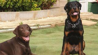 Rottweiler Köpek Eğitimi | Labrador Köpek Eğitimi !
