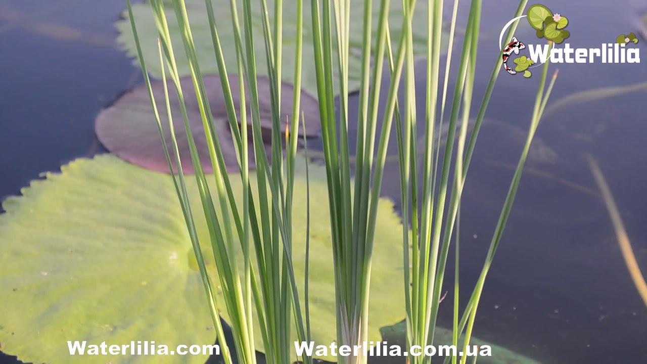 Питомник водных растений купить нимфеи, кувшинки и водяные лилии. Для заказчиков нимфей из украины. Посмотреть. ×.