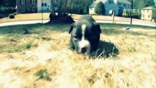 Dogs 101- American Pit Bull Terrier (subtítulos En Español)