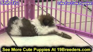 Shih Tzu, Puppies, For, Sale, In, Cincinnati, Ohio, Oh, Westerville, Huber Heights, Lima, Lancaster,