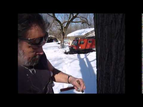 Tapping Black Walnut Trees for Syrup at Meadowlily Farm.