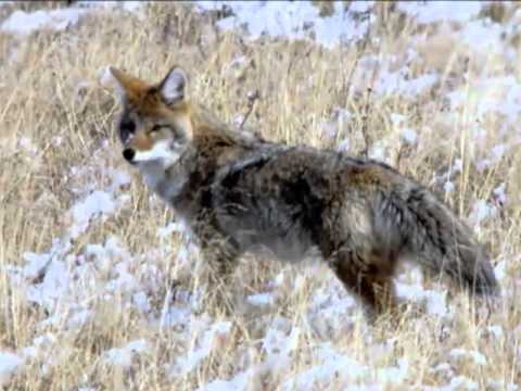 Inside Yellowstone - Wolves and Coyotes