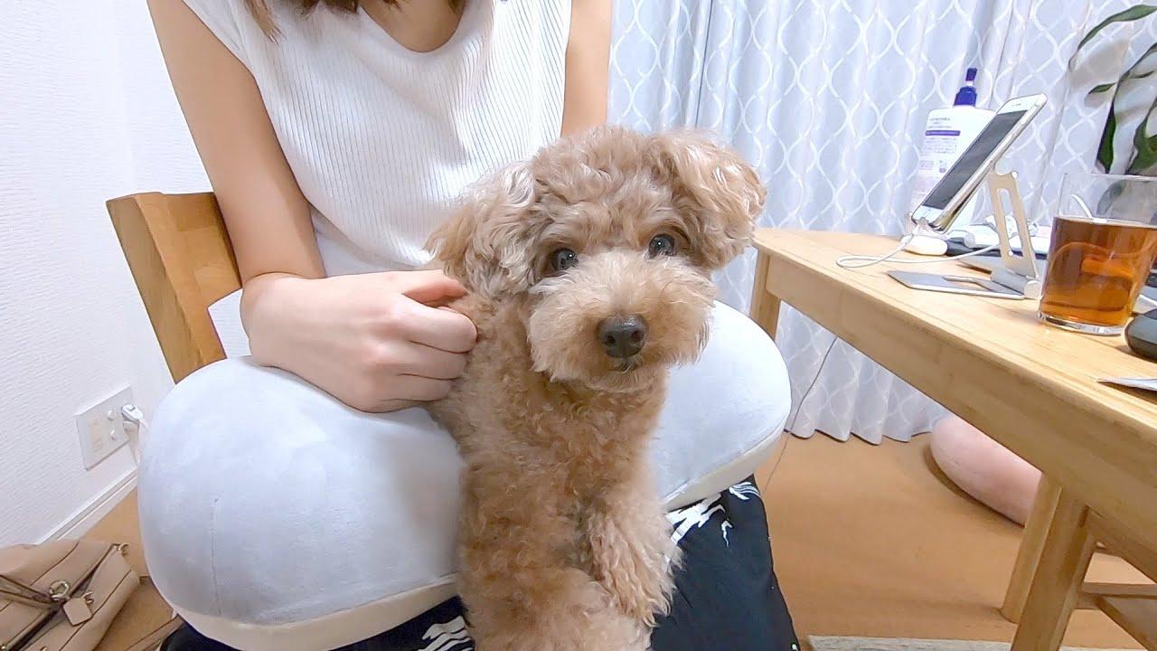 【質問】うちの犬が不思議な行動します。この意味が分かる方いますか?【トイプードル】