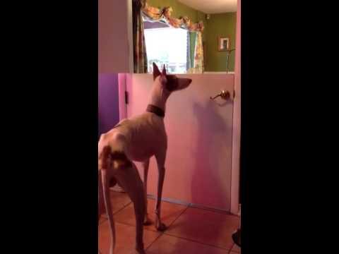 Ibizan Hound, jumping.