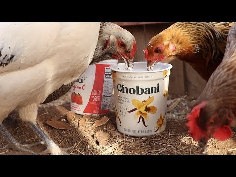 Feeding chickens yogurt until something bad happens - Save the Squirrels Initiative