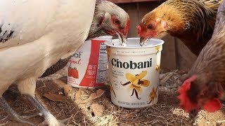 Download Feeding chickens yogurt until something bad happens - Save the Squirrels Initiative Mp3 and Videos