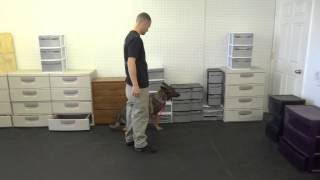 Rescue German Shepherd Doing Detection On Just Third Lesson! Sgsr And Olk9
