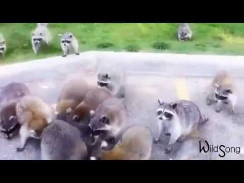 Raccoon Sounds - WildSong