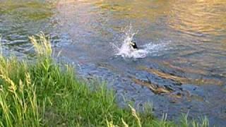 最近、泳ぎが上手になった、うちの娘「ナンシー」が 海デビューの前に川...