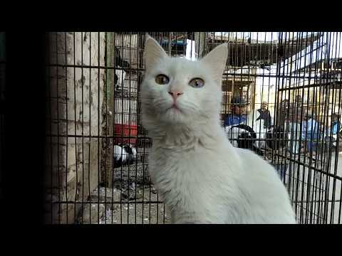 Female Turkish Angora Cat With Most Amazing Different Colour Eyes