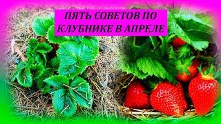 ПЯТЬ советов по КЛУБНИКЕ в апреле, для большого урожая ягод летом. Клубника ранней весной.