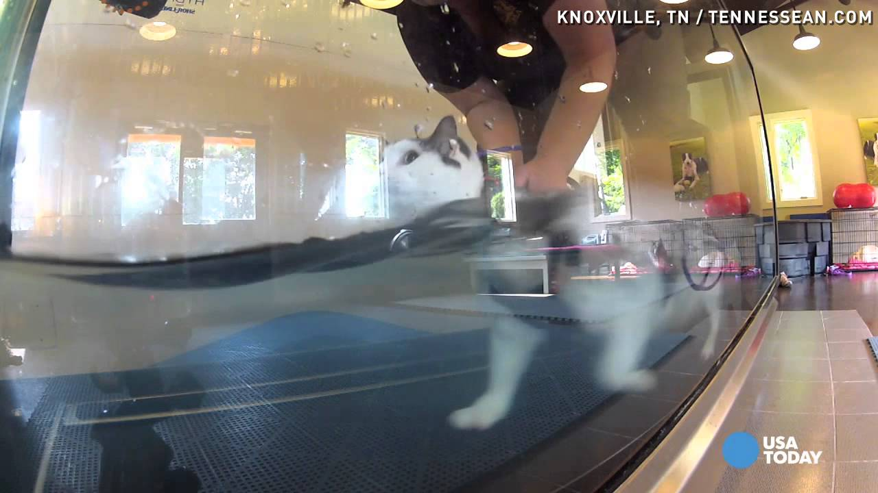 31,pound fat cat does underwater treadmill workout