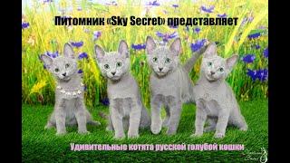 """Питомник """"Sky Secret"""" предлагает котят русской голубой в Москве"""