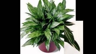 Любимые растения-Аглаонема переменчивая