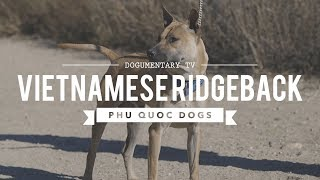 ALL ABOUT VIETNAMESE RIDGEBACK: THE PHU QUOC DOG
