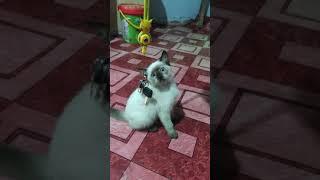 4K 60fps Siamese Cat Playing