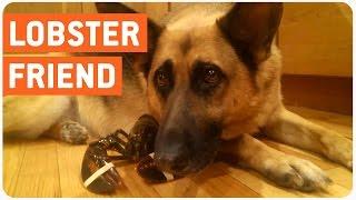Dog Protects His Best Lobster Friend