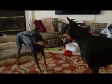 two-dogs-play-fighting-in-the-house-doberman-pinschers