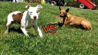 Pharaoh Hound vs PitBull