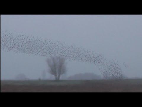 Incredible Starlings Murmuration like a Tornado 2014  Cambridgeshire UK
