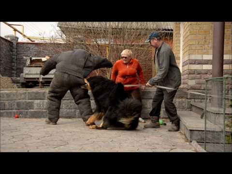 Tibetan Mastiff attack - protection dog test !!! Nasledie Tibeta Russia