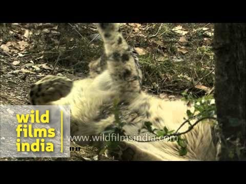 Snow leopard licking and self-grooming
