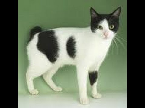 Japanese Bobtail cat shorthair cat
