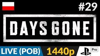 Days Gone PL ???? LIVE - poboczne ???? Różne zlecenia / 23:30 odc. z fabuły / Później pociagi - Na żywo