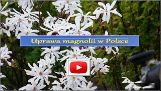 132. Kwitnąca Magnolia, uprawa, pielęgnacja, forum