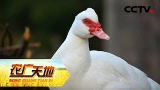 《农广天地》 20190530 白鸭稻田走 红薯轮作种| CCTV农业