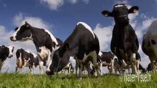 Troupeau de vaches laitières de race Prim-Holstein