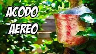 TRUCO PARA REPRODUCIR CUALQUIER ARBOL 🌳🌳 || Acodo Aereo De Limonero