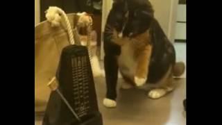 Любознательный кот играется с метрономом.