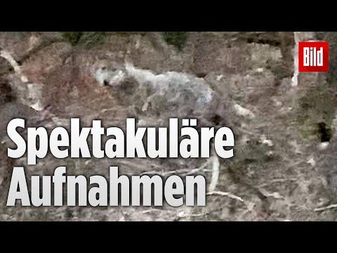 Wolf vor der Kamera: Raubtier wird im Ruhrgebiet gesichtet   Nordrhein-Westfalen