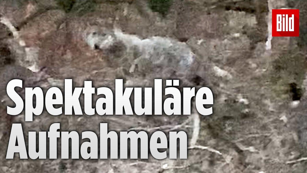 Download Wolf vor der Kamera: Raubtier wird im Ruhrgebiet gesichtet | Nordrhein-Westfalen
