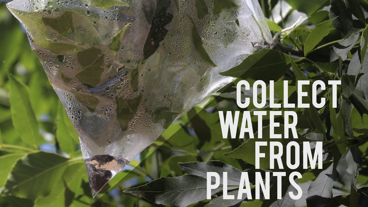 How to Collect Water From Plants