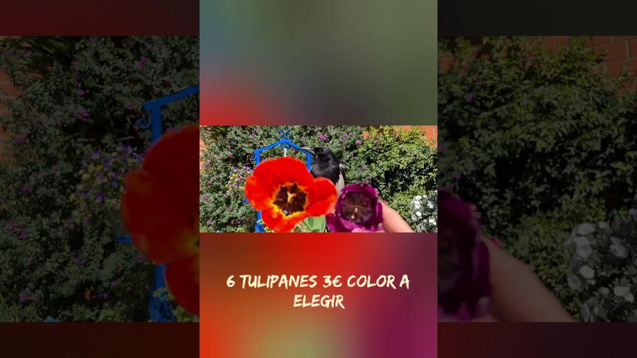 Tulipán variedad de colores anímate a hacer tu pedido por whatsapp +34 618 219 992 🌷