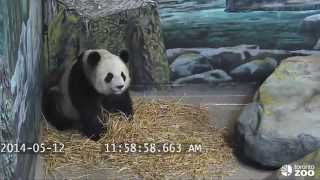 Toronto Zoo Giant Panda - What