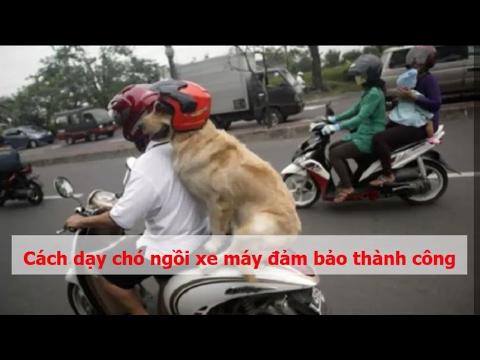 Cách Dạy Chó Ngồi Xe Máy đảm Bảo Thành Công