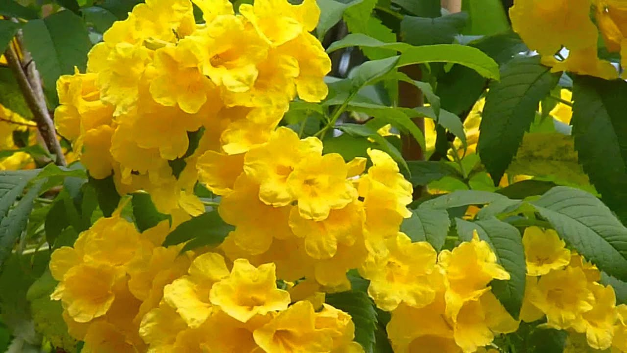 Singapore Plants Yellow Bell Trumpet Flowers Youtube