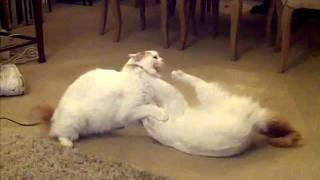 TURKISH VAN CATS PLAYING AROUND