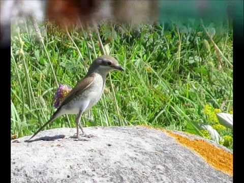 Бесценный дар небес: Фотографии птиц Республики Ингушетия ...Фото Р.Х.Даурбековой