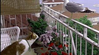 ファンさん向けの動画です 毎日のように来る歌舞伎(かもめ)と猫は、何...