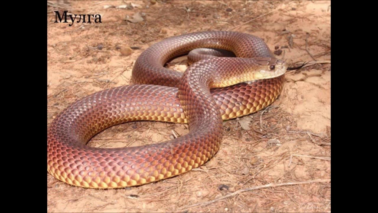 hawaii brown snakes - 1024×683