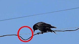 Куда пропадают вороны летом?