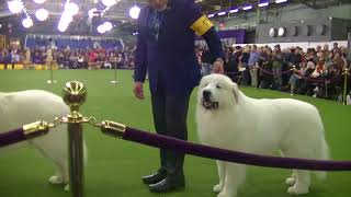 Great Pyrenees Westminster dog Show 2018 b