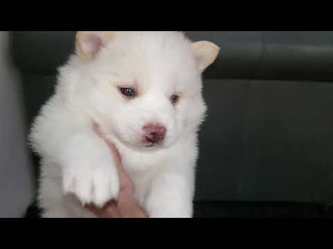 Wooly Pomsky Puppies