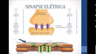 Fisiologia sinapse química e elétrica. unipê 2015.1