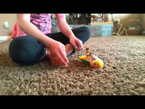 White-bellied Caique hops and plays!